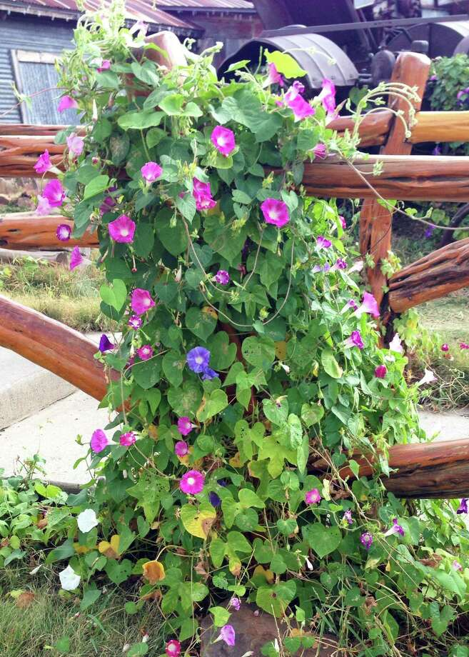 Morning glories bloom toward the end of summer and through the fall. Photo: Courtesy Photo