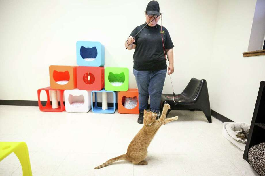 Volunteer Zoe Allen plays with a cat in the newly renovated cat playroom on Tuesday, June 26, 2018, at the Montgomery County Animal Shelter. The playroom, which is still undergoing a few more renovations, was opened early to accommodate a sudden increase in intake of cats at the shelter. Photo: Michael Minasi, Staff Photographer / Houston Chronicle / © 2018 Houston Chronicle