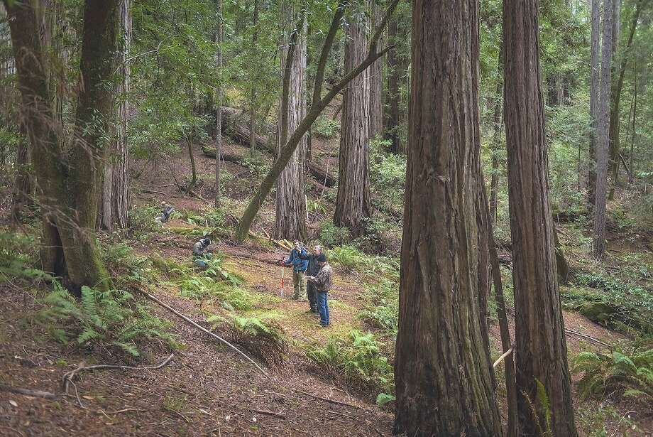 An ancient redwood grove in Sonoma County will be opened to the public. Photo: Mike Shoys / Associated Press