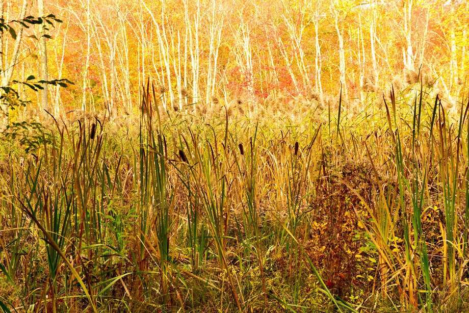 The wetland marsh at Beaver Ledges Preserve in Haddam is about an acre in size and acts to retain and filter the overflow from the pond, according to beaverledges.org. There are still cattails remaining, seen here on the edges of the marsh. Photo: Peter Smith Photo