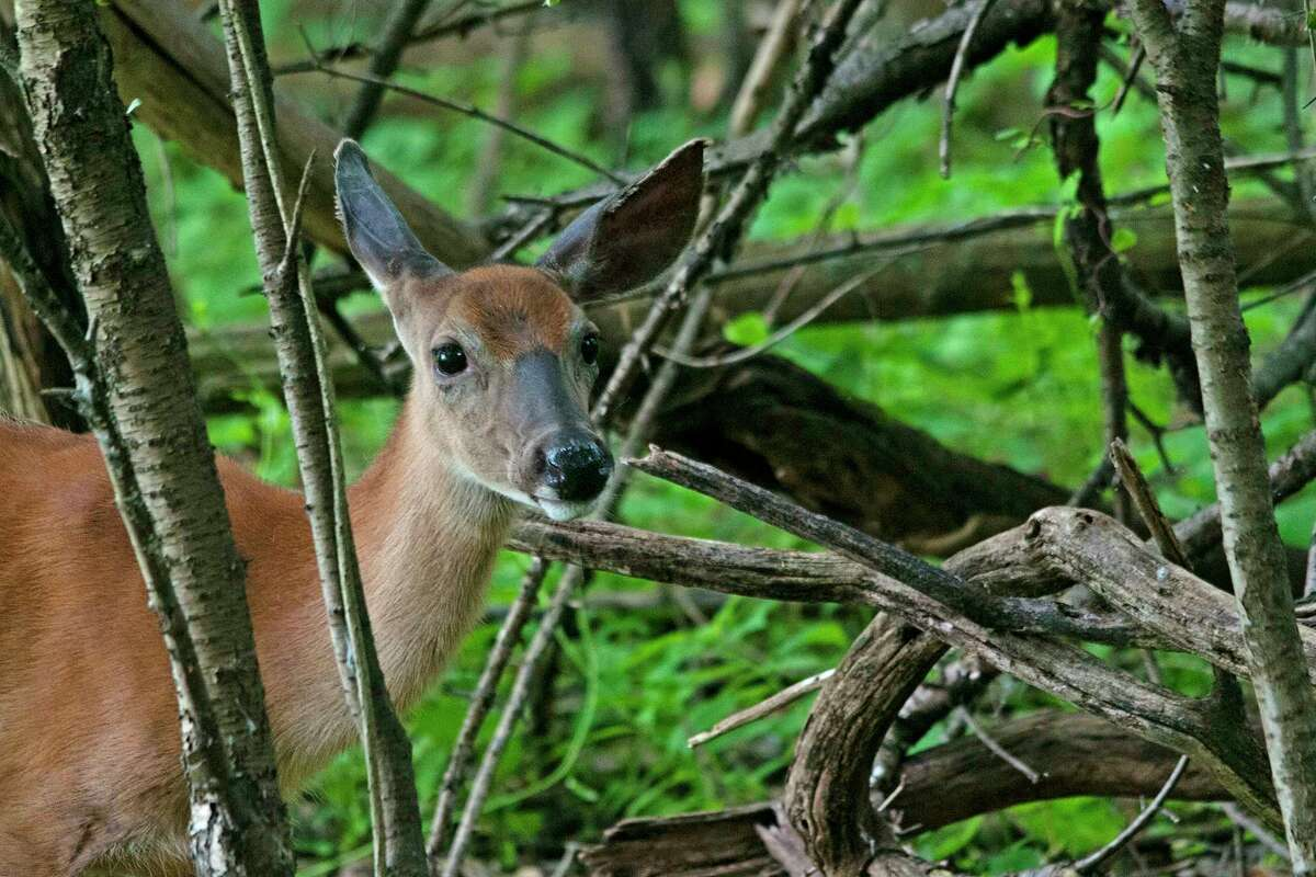 """Dave Koschnick of Cohoes was leading the third of four seasonal """"Picture My Park"""" days in Peebles Island State Park on Sunday June 24 and the tour was able to get several photographs of this white tailed doe as she moved from an open grassy area into the woods. """"She had one ear pointed toward us listening to the clicking of our shutters and one ear pointed back listening to the people walking on a different trail that ran behind her,"""" Koschnick reports."""