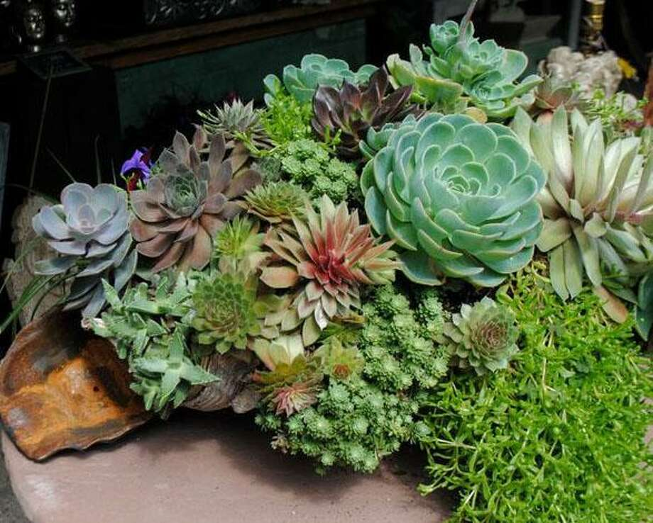 Maas Nursery will host a cactus and succulent class July 7. Photo: Contributed Photo / Contributed Photo / New Canaan News