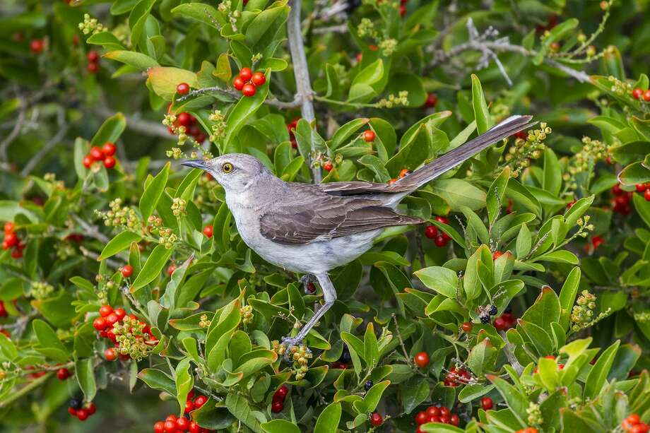 Thomas Jefferson listed 125 species of birds hed seen in Virginia including the Mocking bird. Today we call that bird a mockingbird. Photo: Kathy Adams Clark / Kathy Adams Clark/KAC Productions / Kathy Adams Clark/KAC Productions