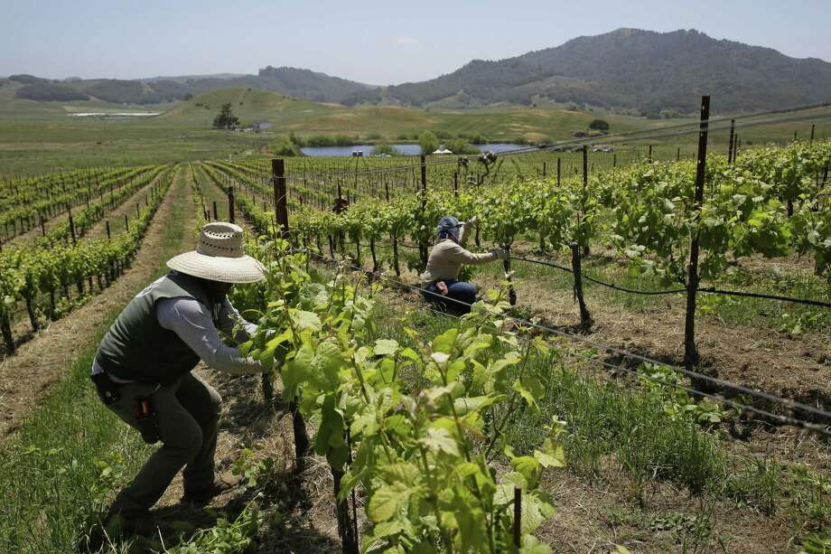 In this photo taken Monday, May 21, 2018, workers trim leaves on Pinot Noir vines in the Azaya vineyard of the McEvoy Ranch in Petaluma, Calif. From South Africa's drought-stricken vineyards, to Frances noble chateaus, to sunny vineyards in Australia and California, growers and winemakers say they are seeing the effects of climate change as temperatures rise, with swings in weather patterns becoming more severe. They are moving to cooler zones, planting varieties that do better in the heat, and shading their grapes with more leaf canopy. Photo: Eric Risberg /Associated Press / Copyright 2018 The Associated Press. All rights reserved.