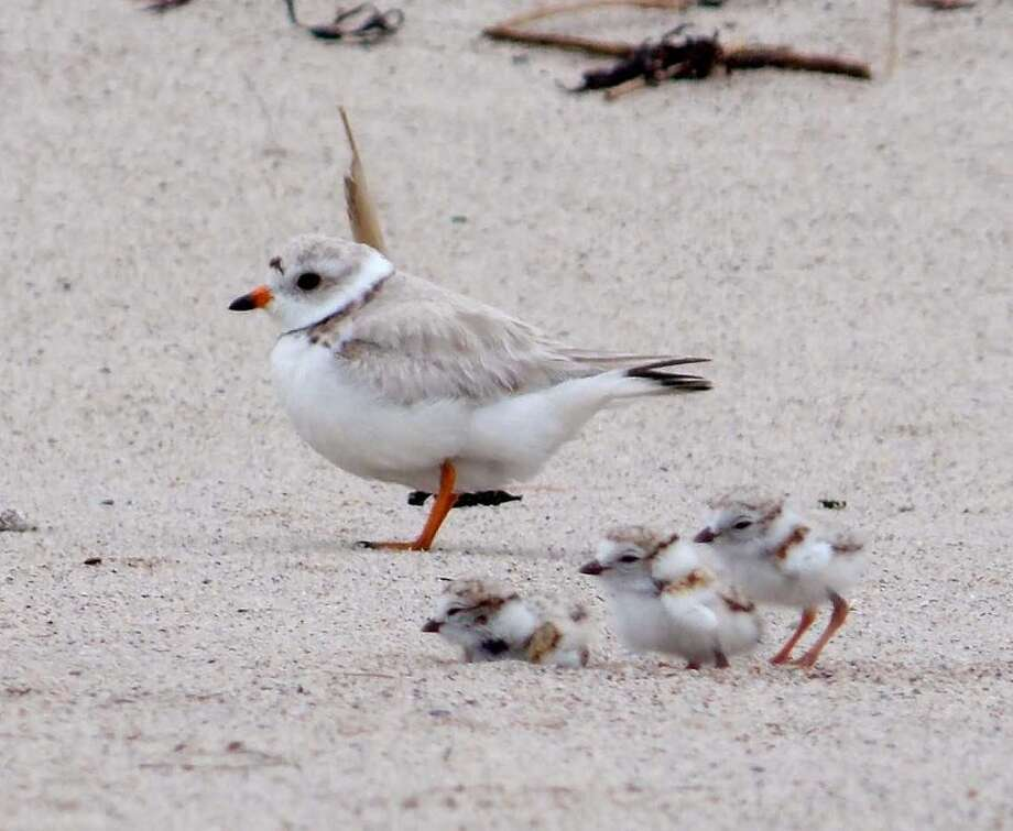 Piping plover with chicks Courtesy of state DEEP