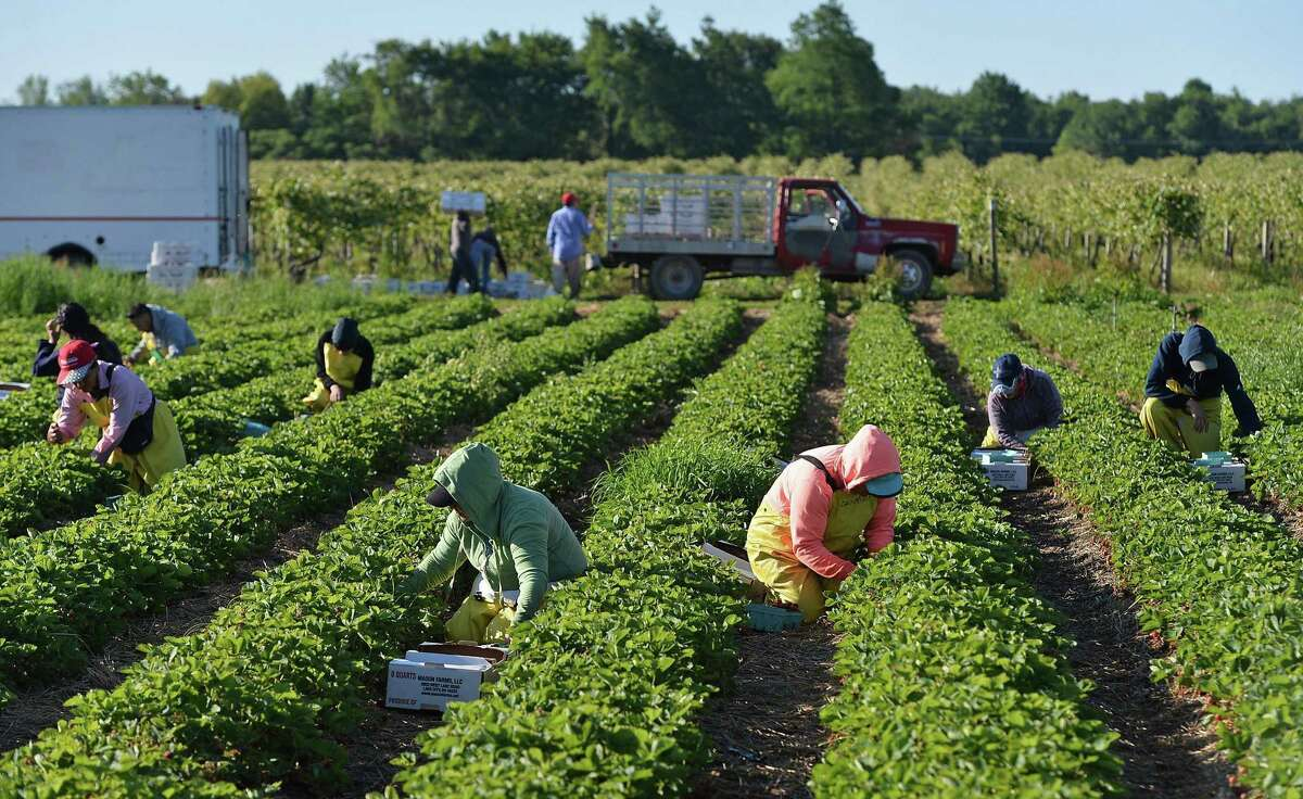 A crew of about 35 pick strawberries at Mason Farms in Girard Township, Pa., on June 12. Estimates vary on how many of domestic farm workers are undocumented but all are high.