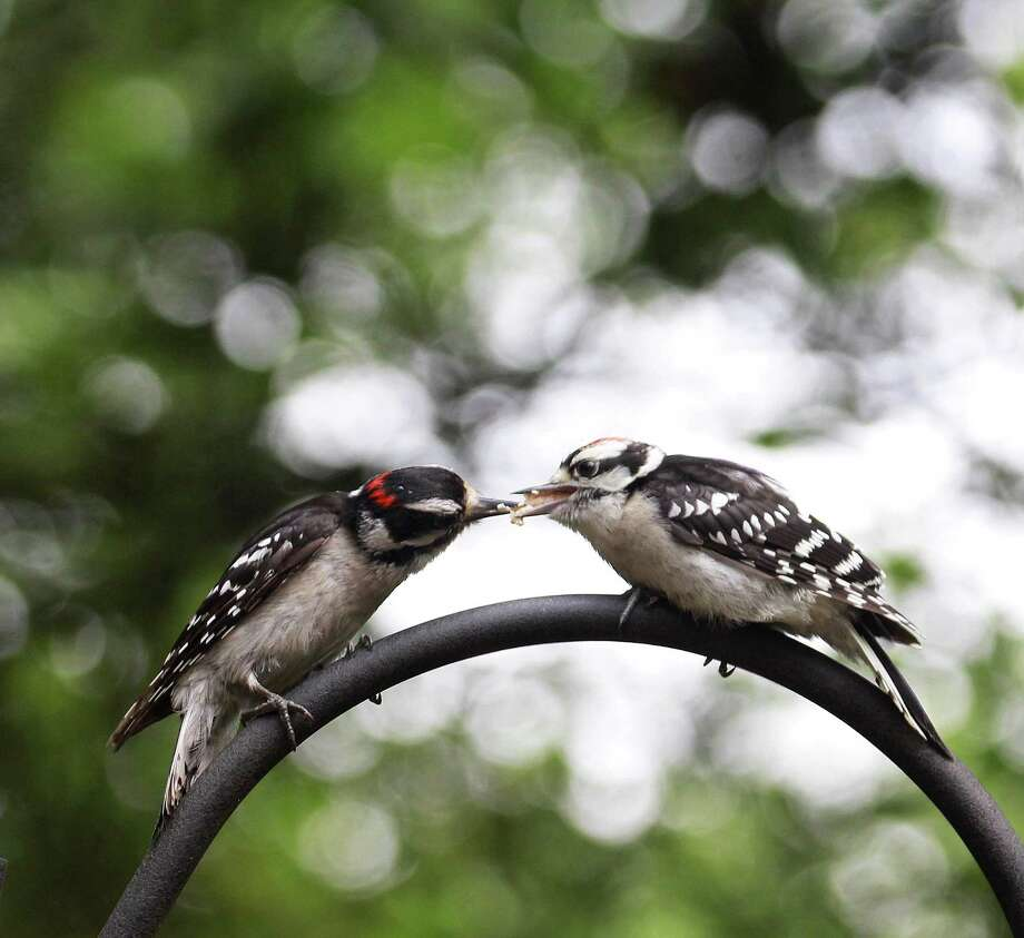 An adult male downy woodpecker, left, feeds an immature male downy woodpecker near a birdfeeder in New England in summer 2018. Photo: Chris Bosak / Hearst Connecticut Media / The News-Times