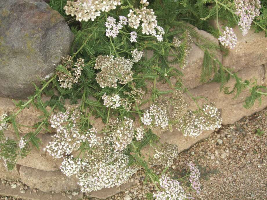 Like tansy, yarrow has neither a strong scent nor fuzzy leaves, but its ferny leaves deter deer.