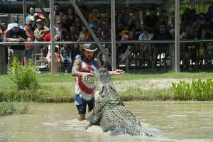 Artie Hammonds, co-owner of Gator Country, performs in a feeding show with Big Al, their 13 foot 4 inch alligator during a day-long birthday celebration for him. Big Al will be turning 86 soon, according to co-owner Gary Saurage, who said researchers at Texas A&M determined his age from a sample of the bone plates on his back. Big Al has been on the property since 1984, Saurage said.