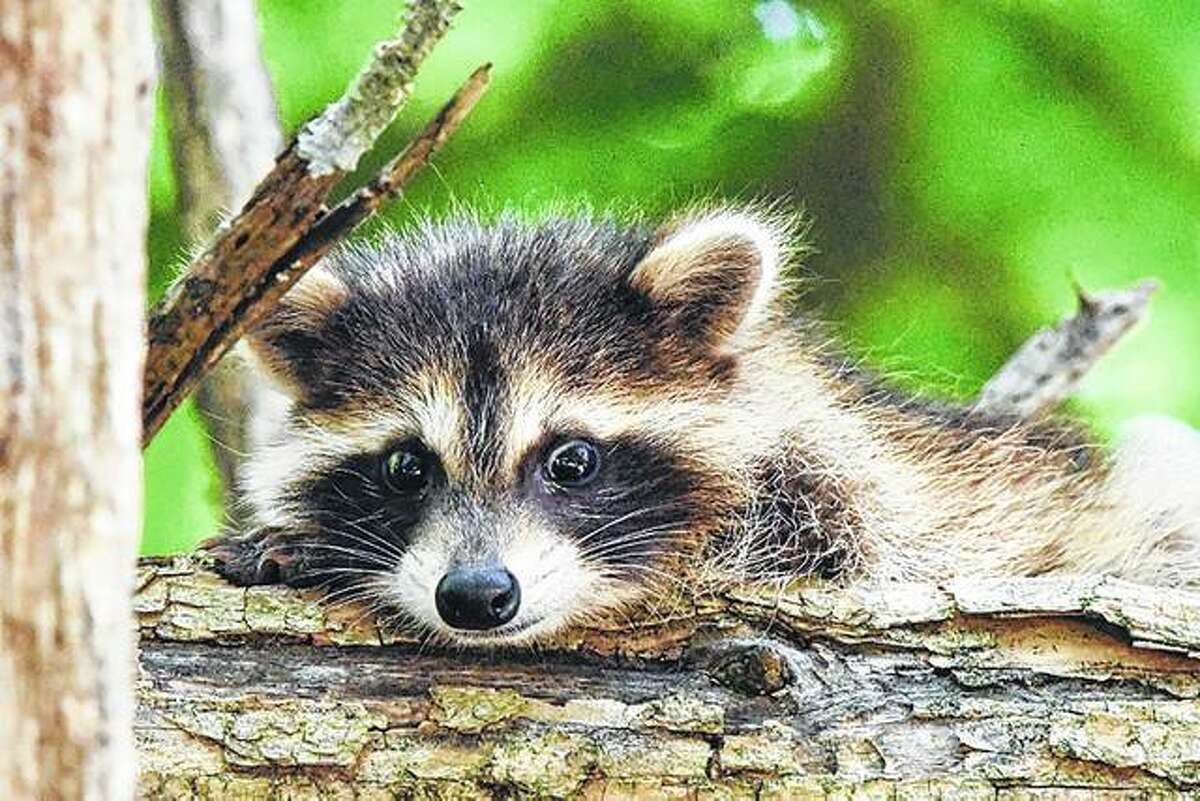 A baby raccoon peers out from behind a tree.