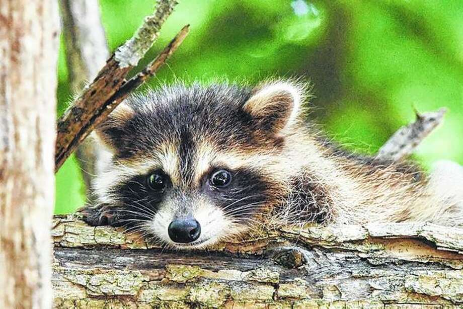 A baby raccoon peers out from behind a tree. Photo:       Kathy Caruthers, Waverly | Reader Photo