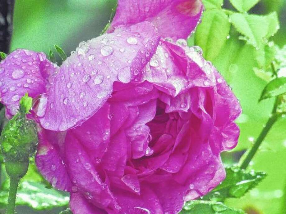 Raindrops cling to a rose after a shower in Scottville.
