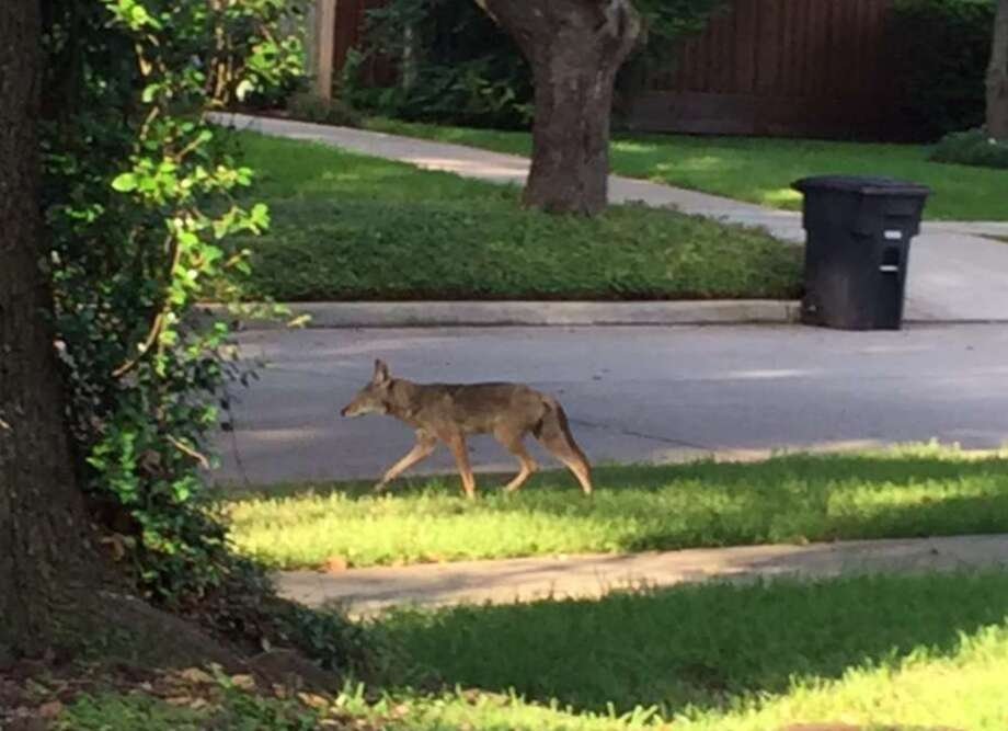 Rice University police are warning students and staff to be on the lookout for coyotes on campus. Lyndia Johnson took this photo of a coyote in the Winchester Country subdivision where she lives, near White Oak Bayou. >>>See more for tips on what to do when you encounter a wild animal...  Photo: Lyndia Johnson