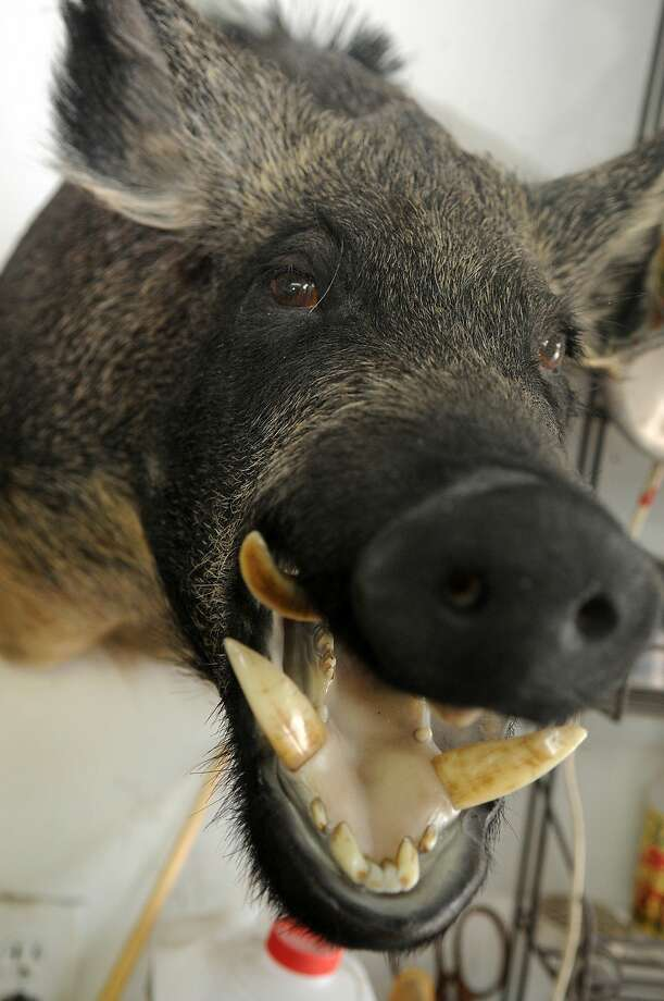 A wild boar  Photo: Jerry Baker, For The Chronicle