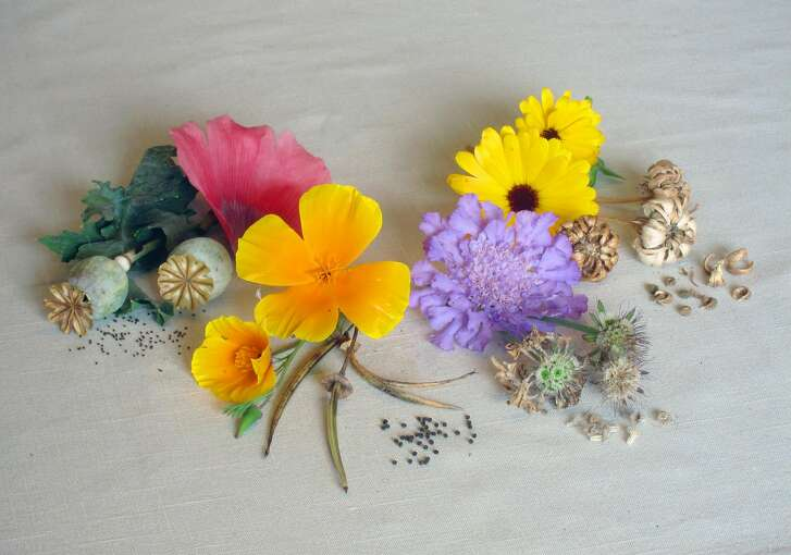 Seed pods of some common flowers with their seeds ready for collecting: From left: breadseed poppy, California poppy, scabiosa and calendula.