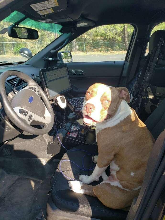 Lost Walnut Creek pit bull really wants to be a police dog SFGate