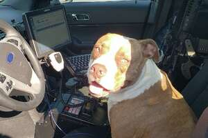Officer Brent Akers with the Walnut Creek Police Department was joined in his patrol car Sunday by a friendly lost pit bull.