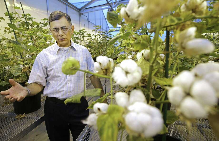 Keerti S. Rathore, professor of soil and crop sciences, talks about cotton in a laboratory greenhouse at Texas A&M University Wednesday, June 20, 2018, in  College Station.  ( Melissa Phillip / Houston Chronicle ) Photo: Melissa Phillip, Staff / Houston Chronicle / © 2018 Houston Chronicle