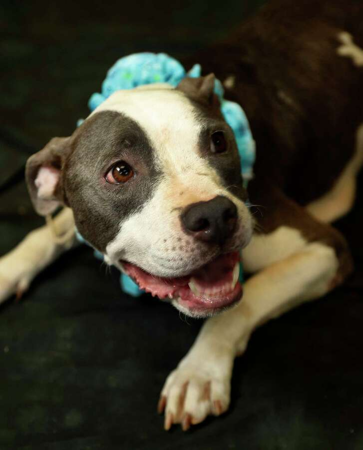 (Animal No: A512438)  A  8-year-old, grey and white, Pit Bull, female, up for adoption at the The Harris County Animal Shelter, operated by the Veterinary Public Health division, Tuesday, July 3, 2018, in Houston.