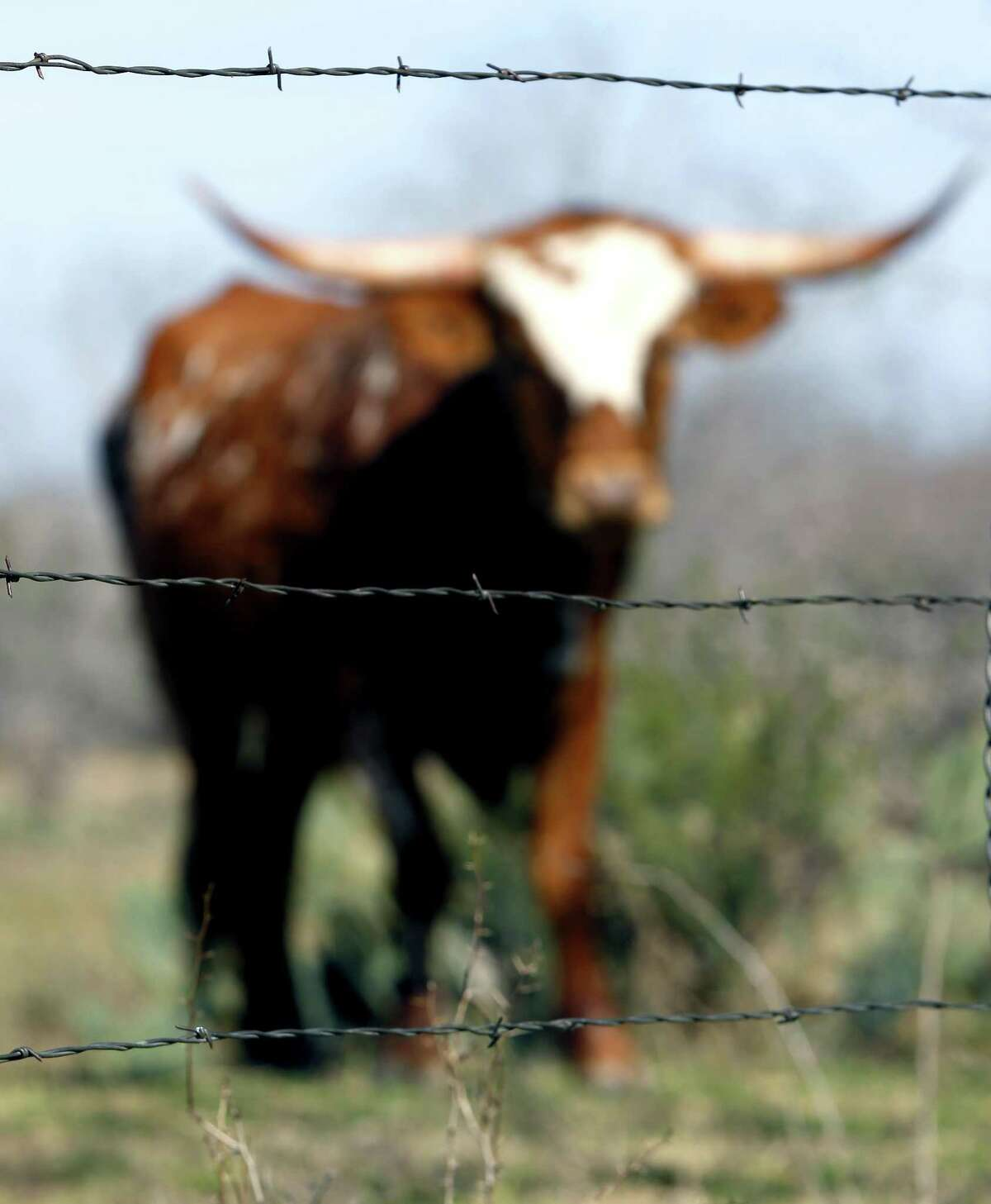 A barbed wire fence separates cattle from the road in south Bexar County. Coupled with the arrival of the railroad, barbed wire closed the open range and ended the great cattle drives.