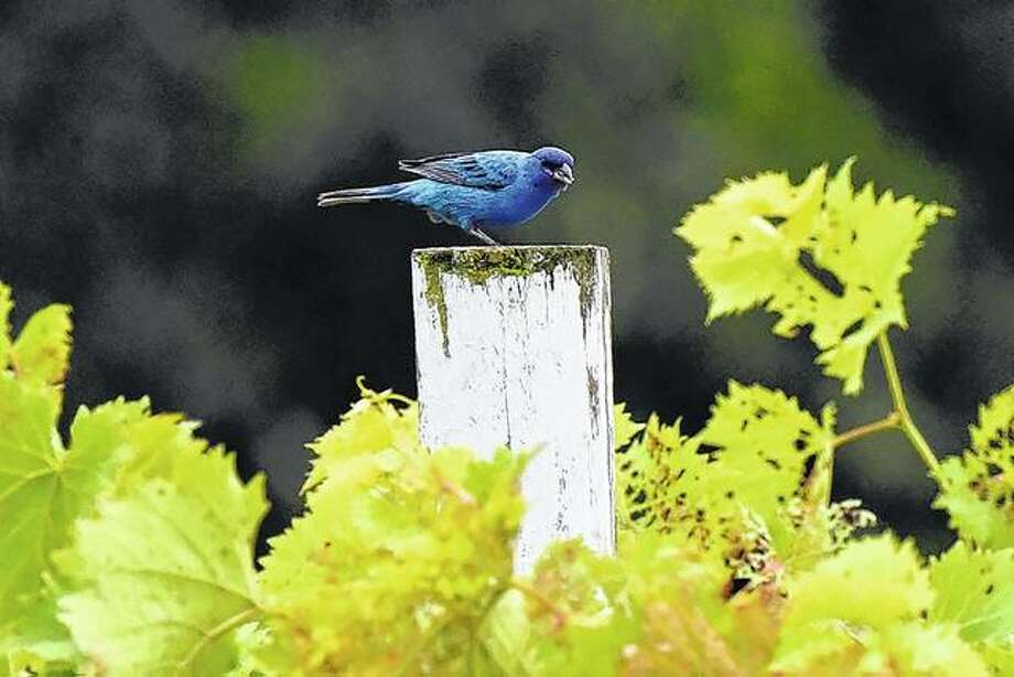 An indigo bunting takes a break, resting on a fence post near Waverly. Photo:       Kathy Caruthers | Reader Photo