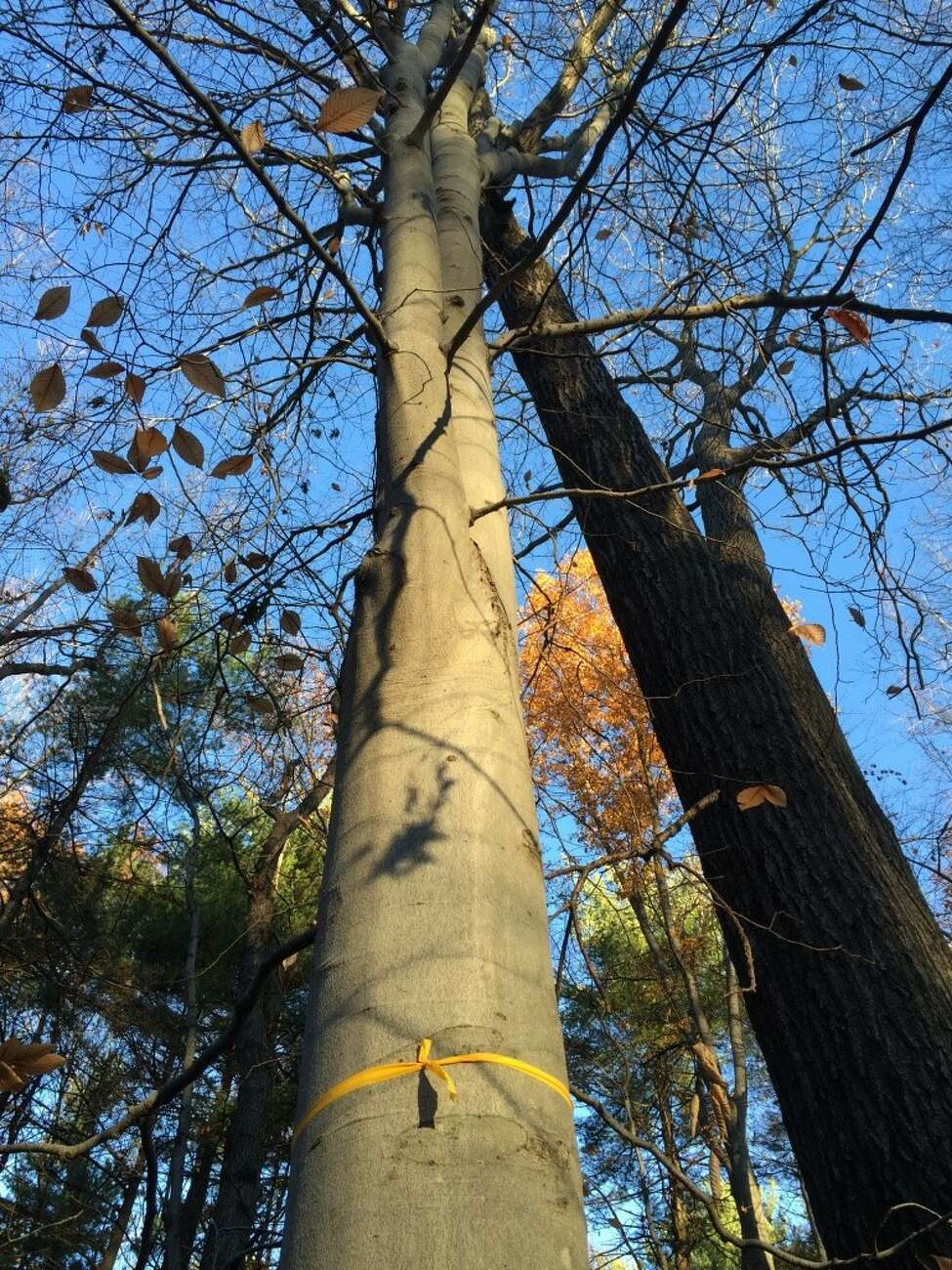 Trees in Kinns Road Park destined for a buzzsaw were marked with yellow and orange ribbons in the first stages of a planned logging operation. Some were marked with the words