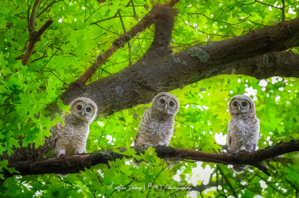 Alex Zhang's photgraph of three owls on one branch is featured on the Friends of Kinns Road park Facebook page along with many other images by nature photographers. (Alex Zhang / Special to the Times Union)