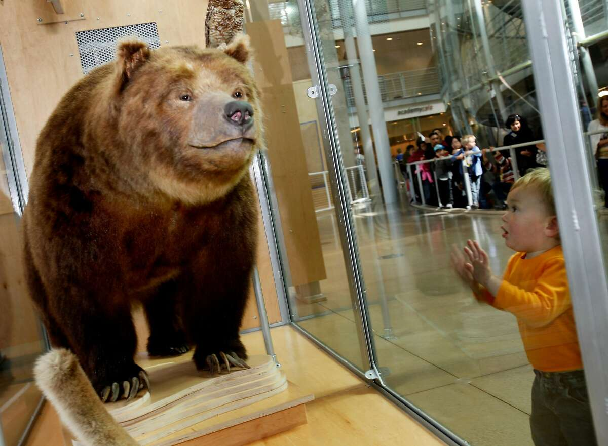 A young visitor gets his first glimpse of Monarch Thursday April 28, 2011. The last California grizzly bear, who is named Monarch, is stuffed and on display at the California Academy of Sciences in San Francisco, Calif. Monarch died in 1911, having lived out his life in San Francisco. He is the famous grizzly bear on the state flag.