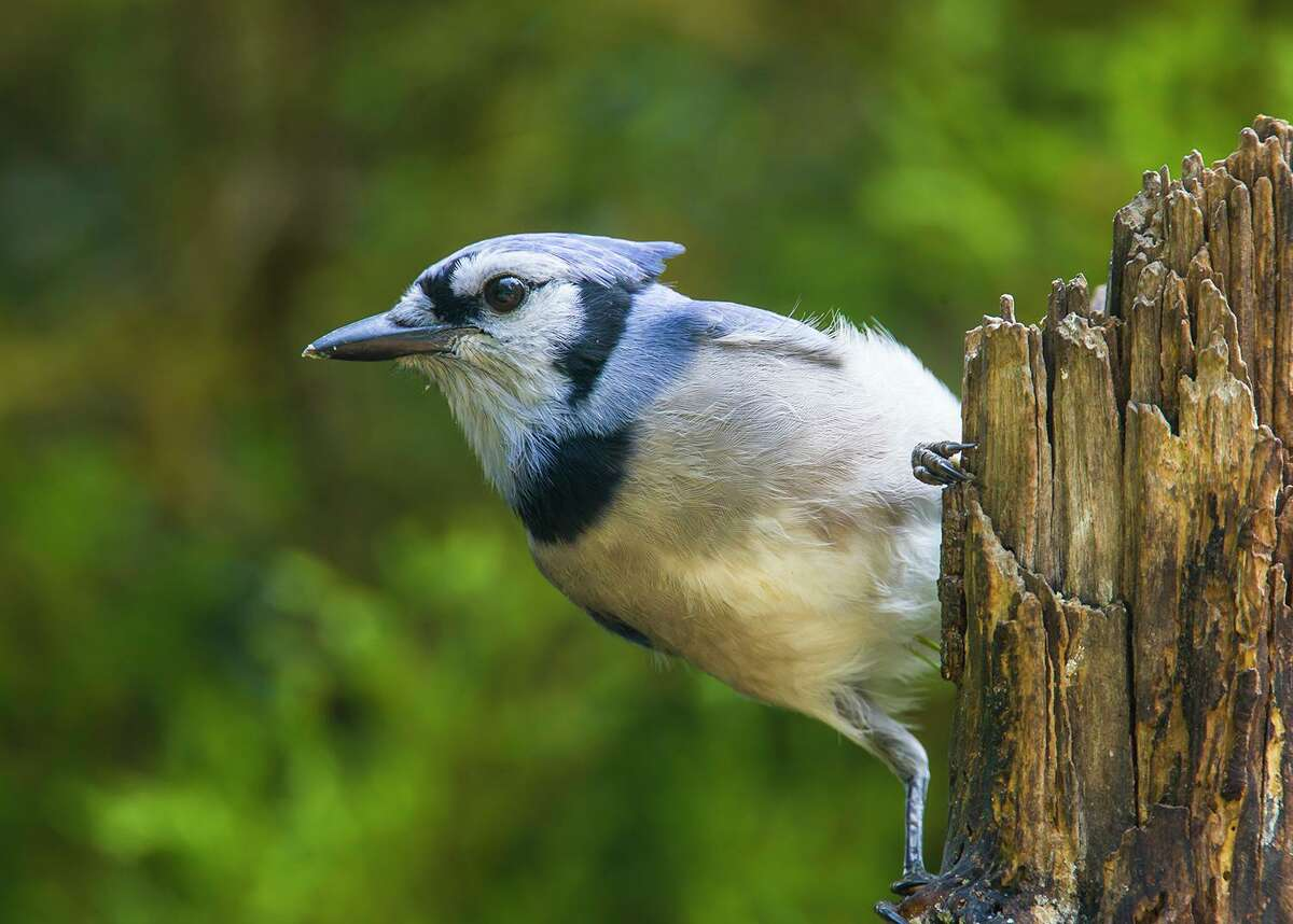 Summer is a good time to pause and enjoy nature. Listen to the blue jay's two-noted call that sounds like a bell. Photo Credit: Kathy Adams Clark. Restricted use.