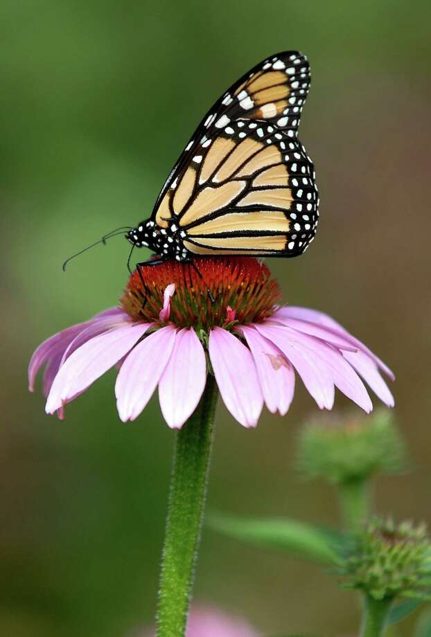 A monarch butterfly alights on a purple coneflower. This is one of the plants that will populate Monroe's pollinator garden in Wolfe Park. Photo by Mara Lavitt. Photo: /