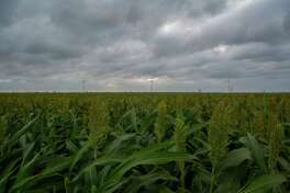 A sorghum field near Taft, Texas.