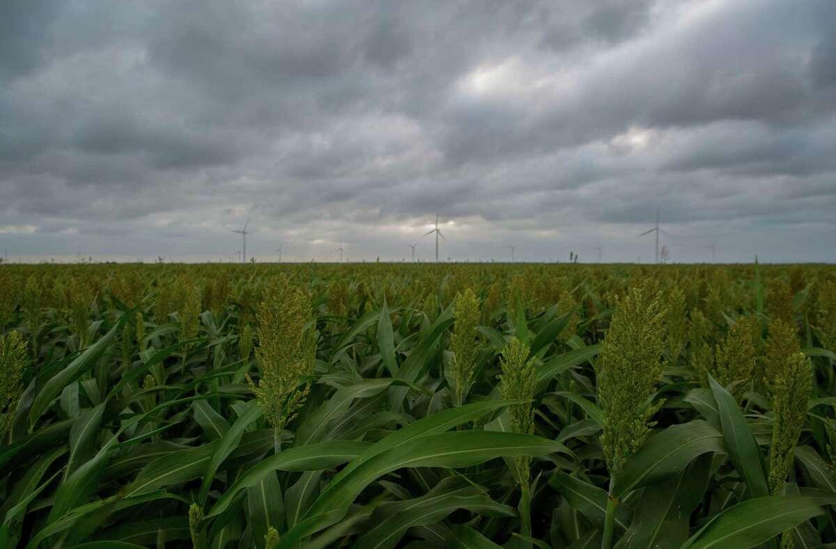 A sorghum field near Taft, Texas.