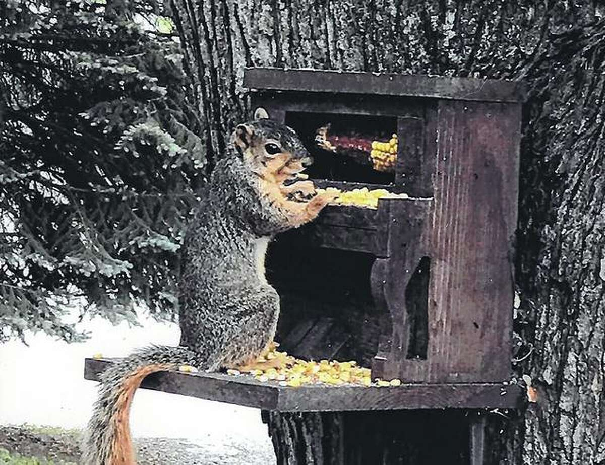 A squirrel eats corn at a piano-shaped feeder made by Galen Lovekamp of Bluffs.