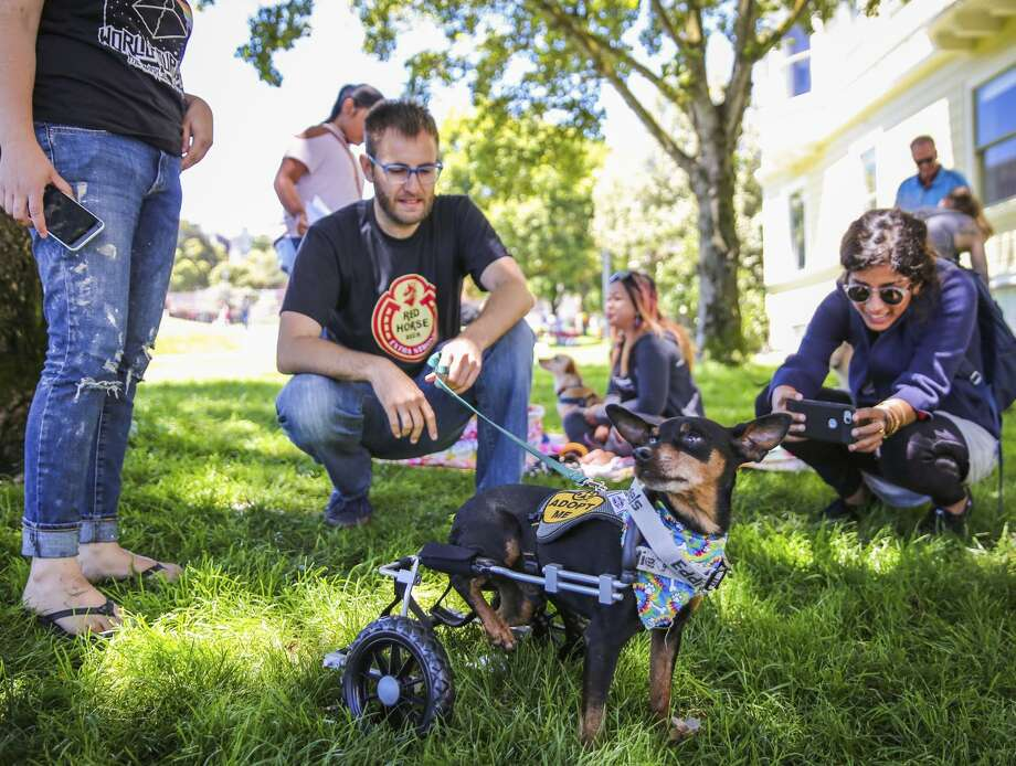 Scooter makes his way through the eighth annual picnic for three-legged dogs with the help of a wheelchair. Dogs with all kinds of disabilities were actually welcome at the Duboce Park event. Photo: Gabrielle Lurie / The Chronicle / ONLINE_YES