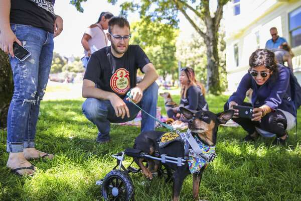 Scooter makes his way through the eighth annual picnic for three-legged dogs with the help of a wheelchair. Dogs with all kinds of disabilities were actually welcome at the Duboce Park event.