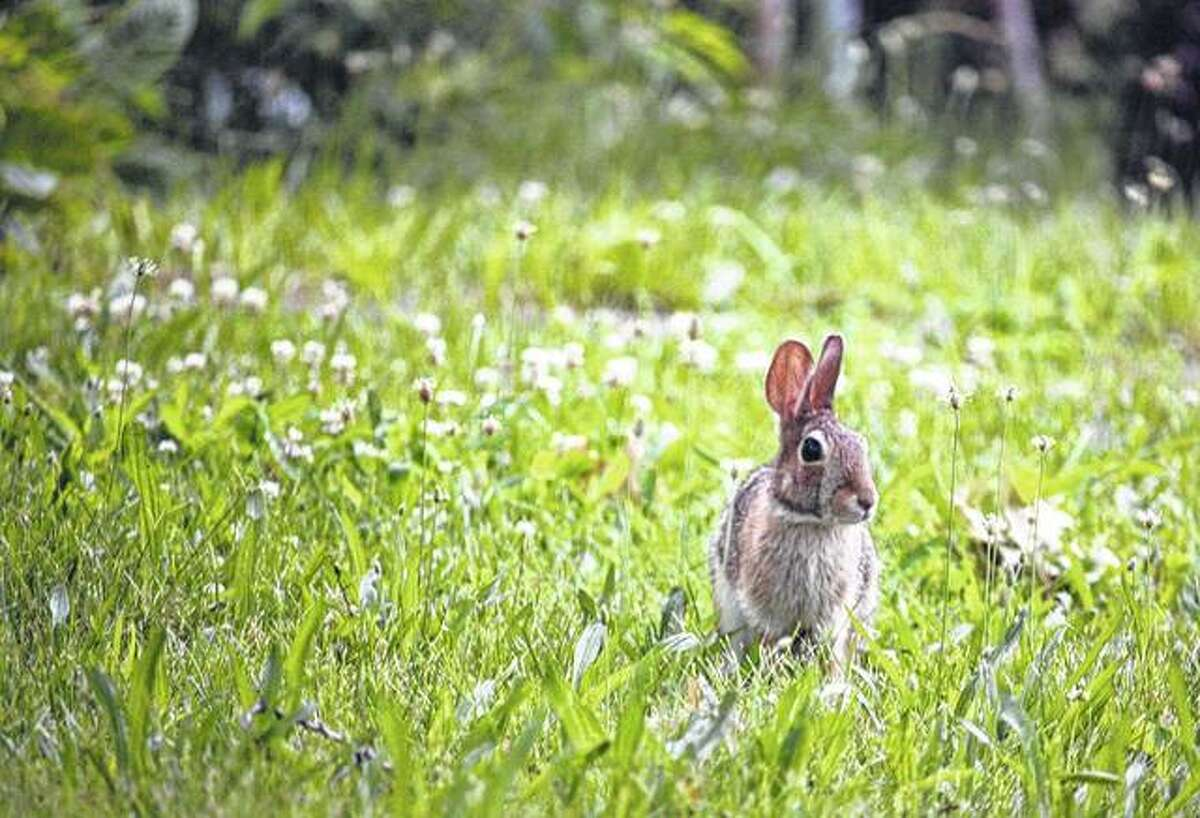 A rabbit blends in with the grass and flowers while getting a little uninterrupted afternoon sun.