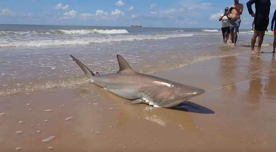 Bystander Ayon Dasgupta captured Lauren Biggers' blacktip shark haul in a YouTube video on Saturday, July 7 on Surfside Beach. Photo: Ayon Dasgupta / YouTube