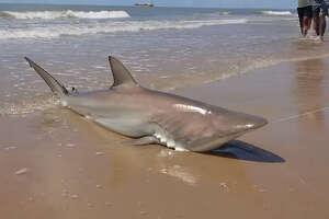Bystander Ayon Dasgupta captured Lauren Biggers' blacktip shark haul in a YouTube video on Saturday, July 7 on Surfside Beach.