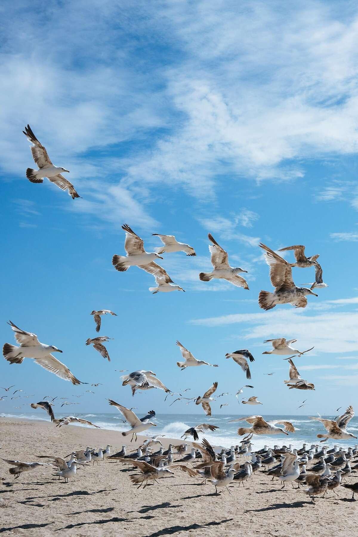 Seagulls seen along the Pescadero State Beach near Half Moon Bay, Calif., on Friday, July 6, 2018.