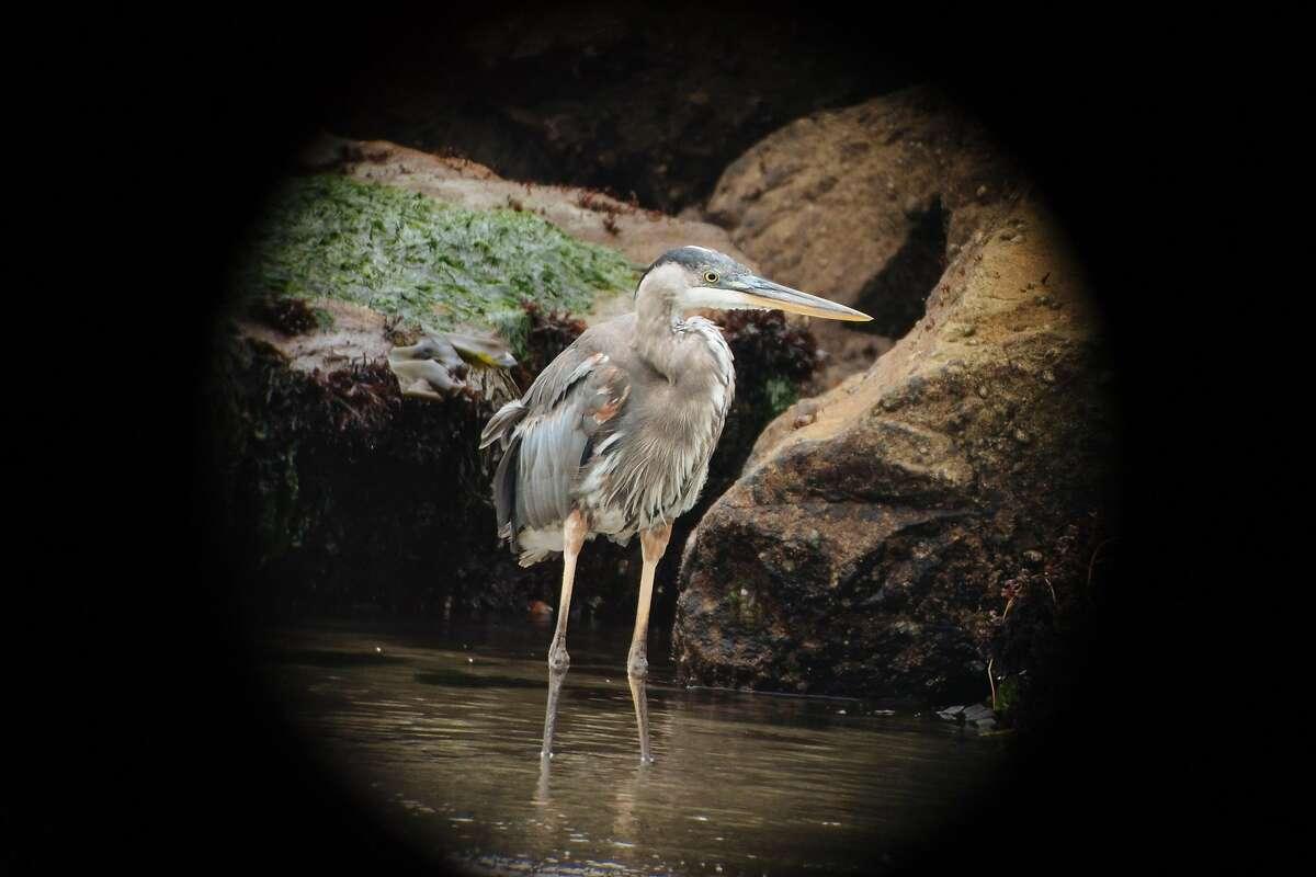 Local ornithologist, Alvaro Jaramillo, spots a Great Blue Heron through his spotting scope along Pilar Point Cove.