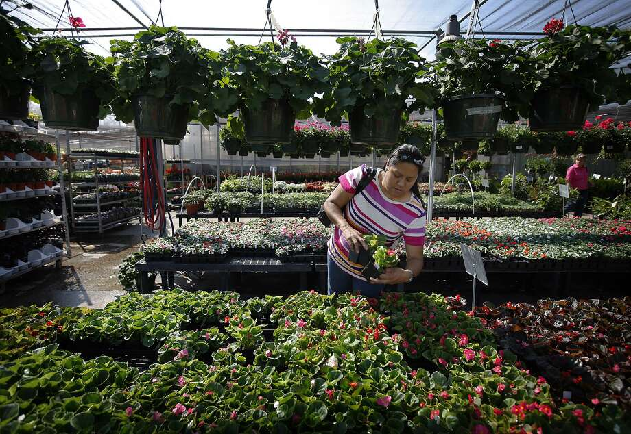 This 2011 file photo shows a customer picking a selection of bedding plants at Schulz nursery. Photo: KIN MAN HUI /Staff File Photo / San Antonio Express-News