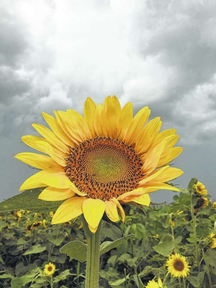 A sunflower does its best to bring color to the countryside despite approaching storm clouds.