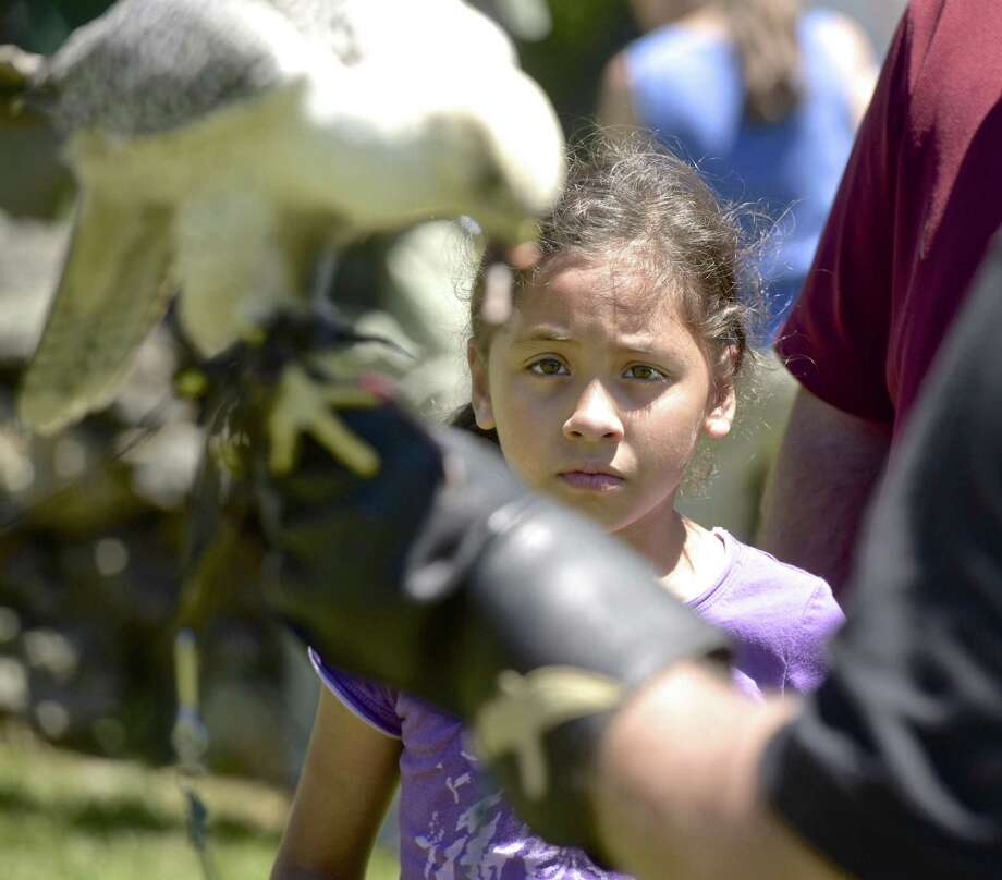 Victoria Crotta, 7, of Sherman, watches a gyrfalcon eat a mouse at the Connecticut Audubon Society grand opening of Deer Pond Farm on Saturday. Photo: H John Voorhees III / Hearst Connecticut Media / The News-Times
