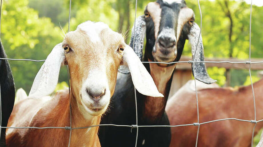 Animals are humanely treated at Such and Such Farm. Photo:       For The Telegraph