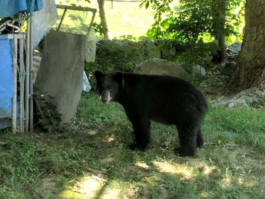 A black bear was spotted on Meadowbrook Lane in Torrington on Tuesday, July 10, 2018. Photo: Amanda Emporess / Submitted Photo