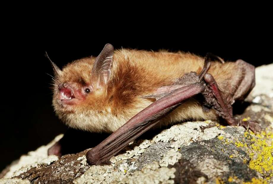 A little brown bat photographed in Canada is one of the species found in Michigan. (Getty Images/Jared Hobbs) / This content is subject to copyright.
