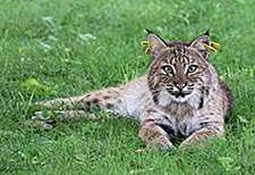 50 state bobcats to lose GPS collars on Aug  1 - Connecticut Post
