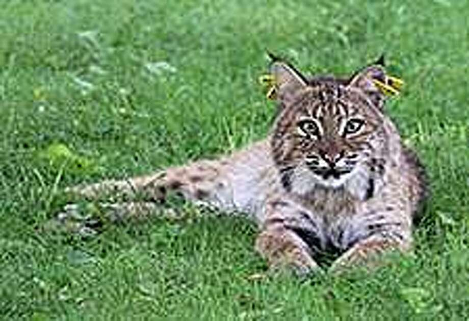 The bobcat population in Connecticut has been increasing over recent years. The bobcat is the only wild cat found in Connecticut and the most common wild cat in North America. Photo: Photo Courtesy Of Linda Tomas Via DEEP