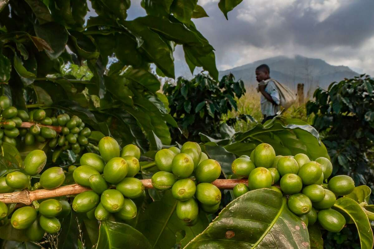 A man with a bag of fertilizer passes coffee plants with green cherries on Mount Gorongosa, Mozambique. Conservationists are working with local farmers to reverse deforestation.