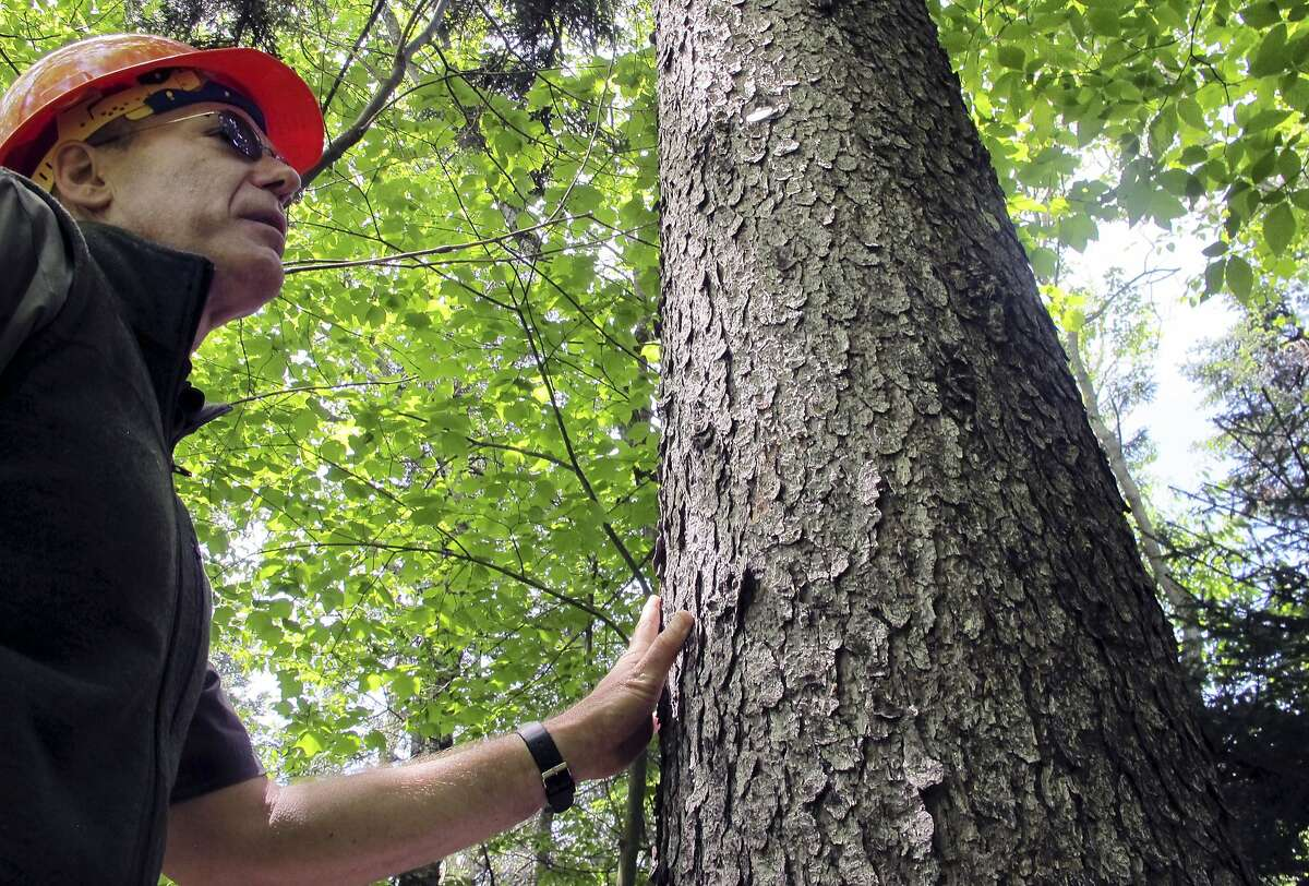 In this June 12, 2018, photo, U.S. Forest Service scientist Paul Schaberg stands beside a healthy red spruce tree growing on Mount Mansfield in Stowe, Vt. Schaberg is co-author of a new study that found that the tree species, once heavily damaged by acid rain, is rebounding in five Northeast states due to stricter air pollution regulations and a changing climate. (AP Photo/Lisa Rathke)
